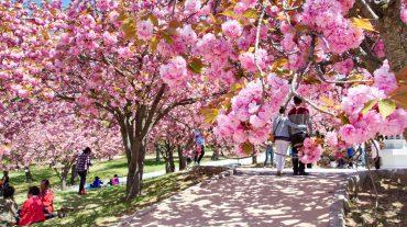 Фестиваль цветения вишни в Сеуле